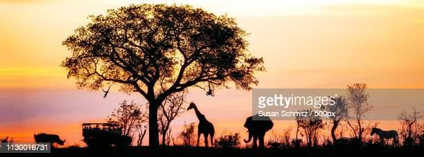 african safari silhouette banner - kruger national park stock pictures, royalty-free photos & images