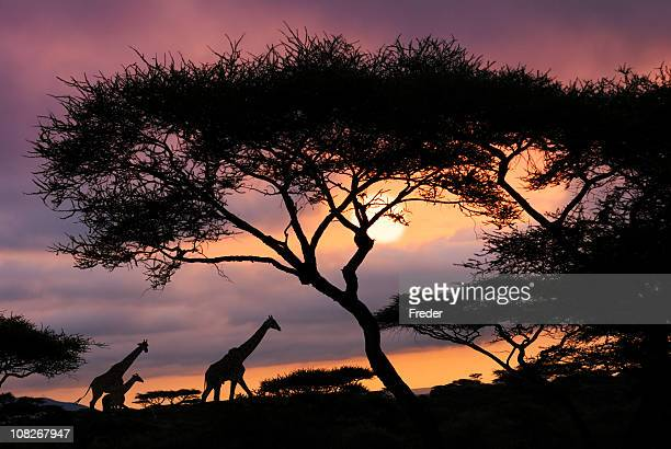 african safari sunset - south africa stock pictures, royalty-free photos & images