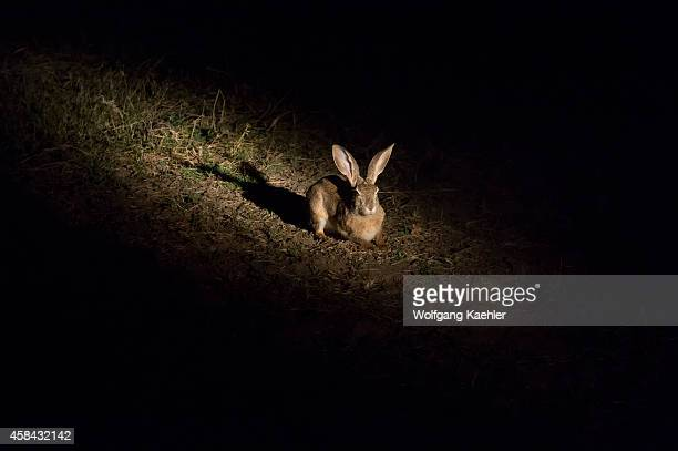 African savanna hare at night in South Luangwa National Park in eastern Zambia