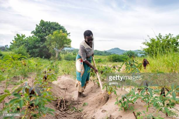 african senior woman working on manioc field - malawi stock pictures, royalty-free photos & images
