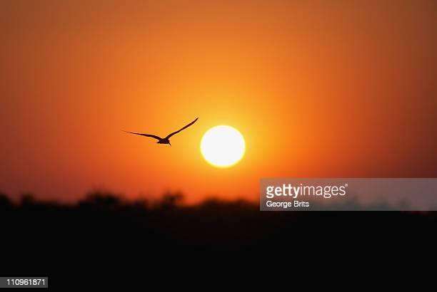 African Skimmer (Rynchops flavirostris) silhouetted against sun over Okavango River, Botswana