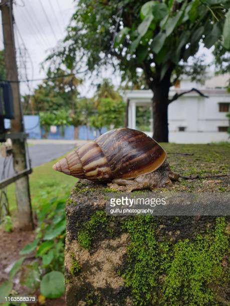 african snail - giant african land snail stock pictures, royalty-free photos & images