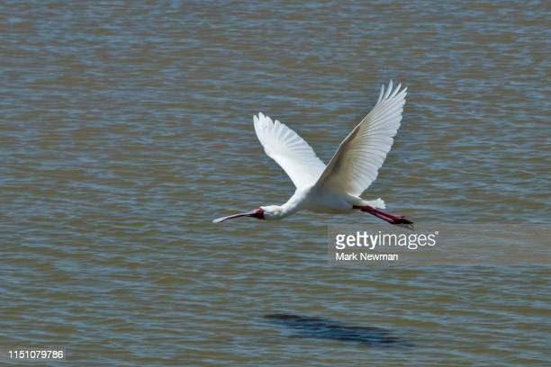 african spoonbill - kenya newman stock pictures, royalty-free photos & images
