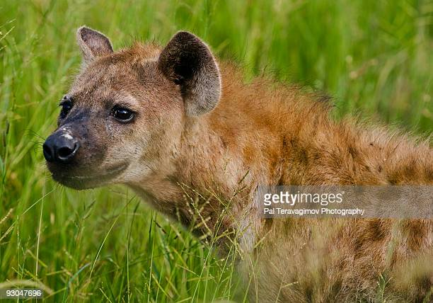 african spotted hyena - hyena stock pictures, royalty-free photos & images