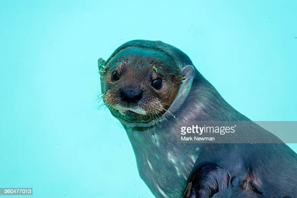 African spotted-necked otter
