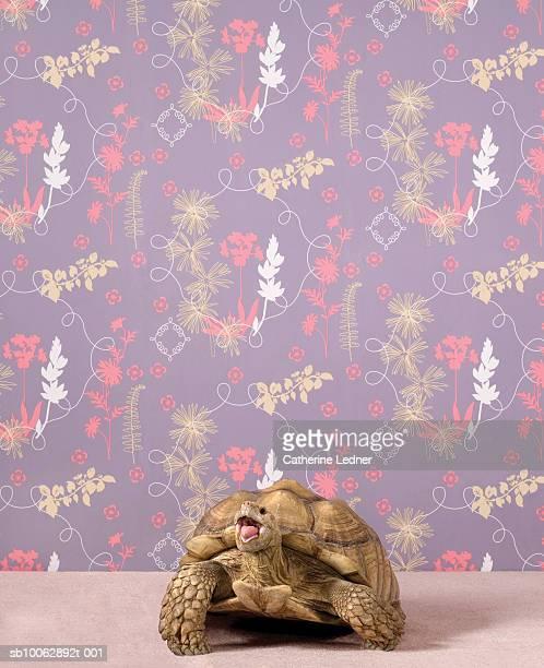 African Spurred Tortoise (Geochelone sulcata) against lilac wallpaper, studio shot