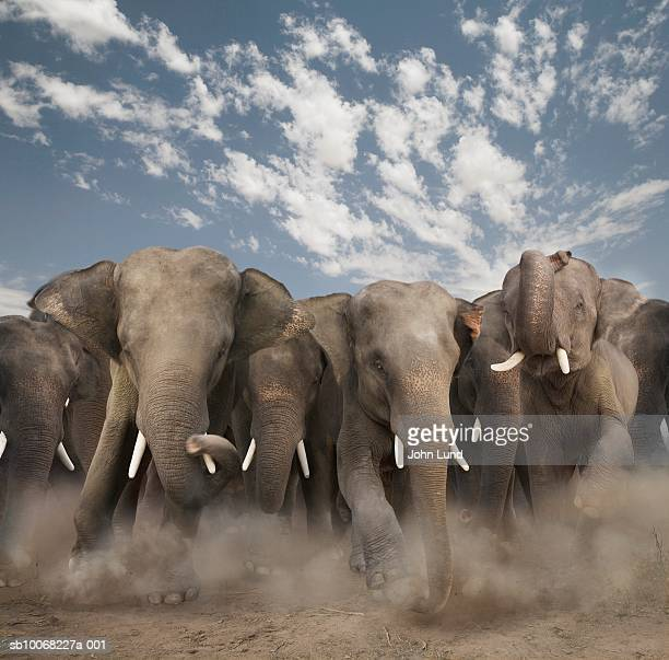african stampeding elephants - stampeding stock pictures, royalty-free photos & images