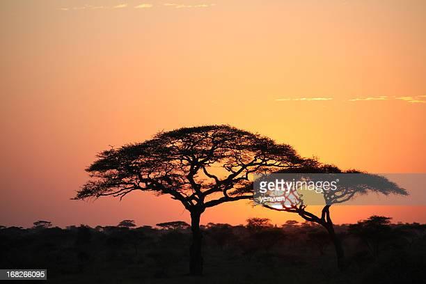 アフリカの日の出セレンゲティ