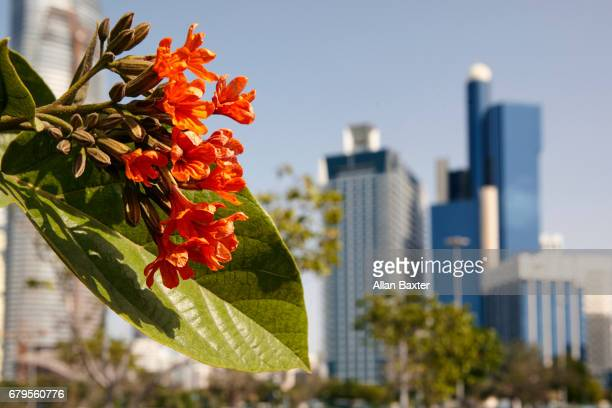 African Tulip tree and skyline of Abu Dhabi