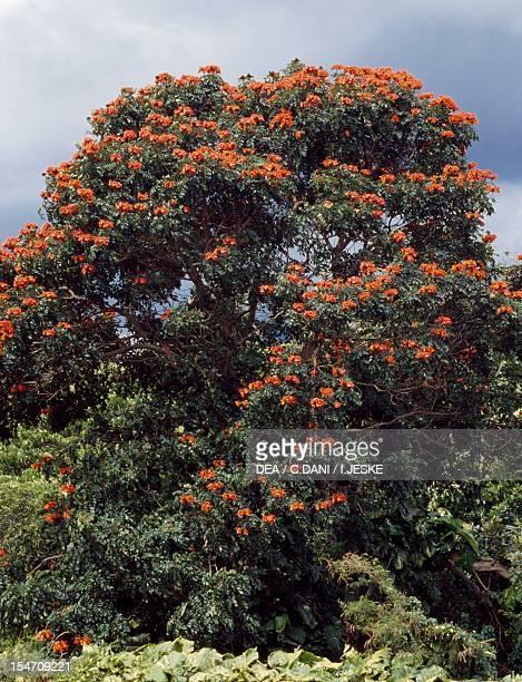 African tulip tree Bignoniaceae