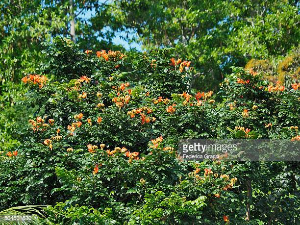 African Tulip Tree, Cerf Island, Seychelles, Indian Ocean