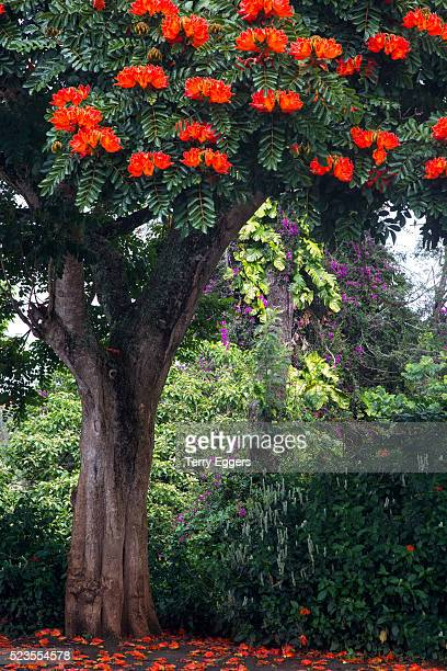 African Tulip Tree growing on Oahu Island