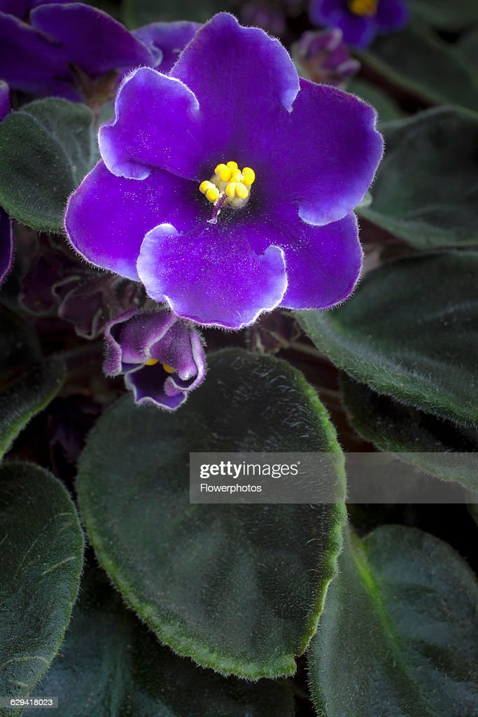 African violet pictures getty images african violet a saintpaulia cultivar with purple flowers edged with white around yellow tipped mightylinksfo Choice Image