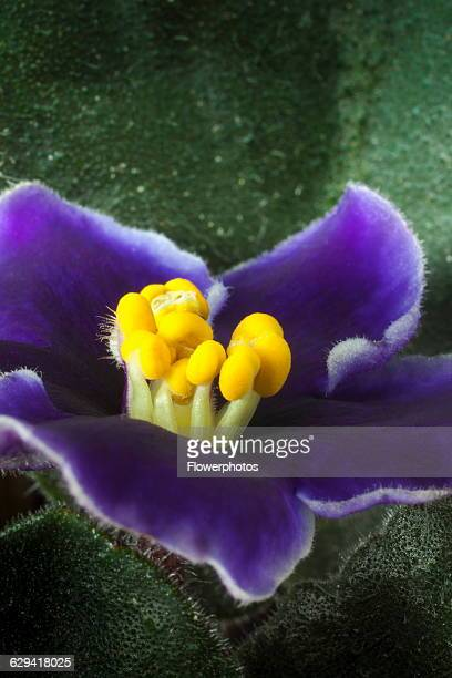African violet a Saintpaulia cultivar with purple flowers edged with white around stubby yellow tipped stamen Close view of one flower with leaves...