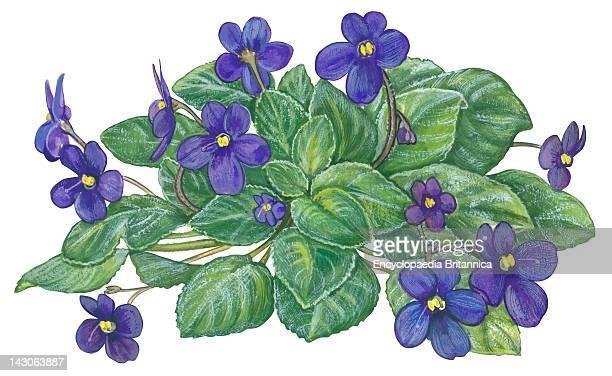 African Violet African Violet