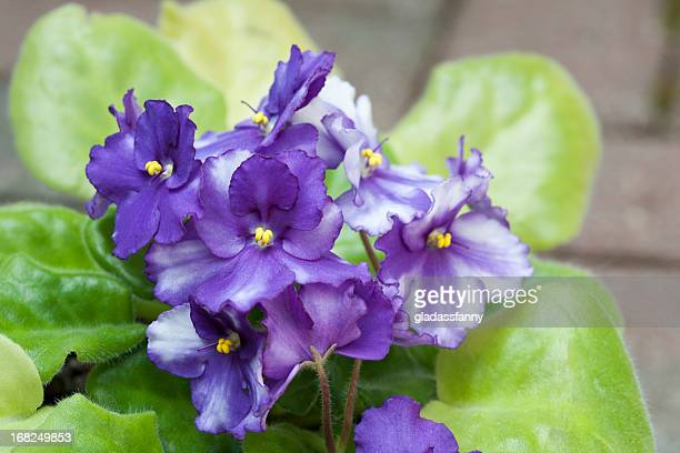 african violet blooms - african violet stock photos and pictures