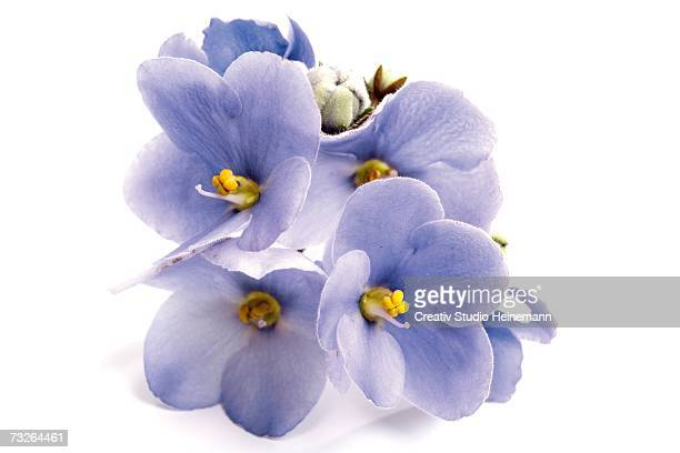 african violet (gesneriaceae), close-up - african violet stock photos and pictures