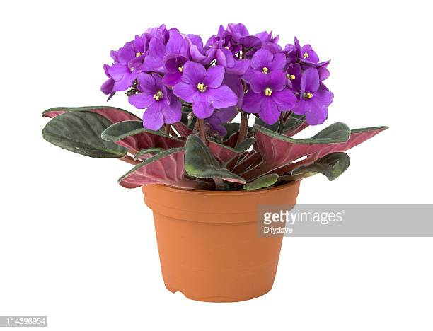african violet flower in pot - african violet stock photos and pictures