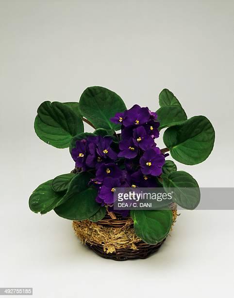 African violet Gesneriaceae