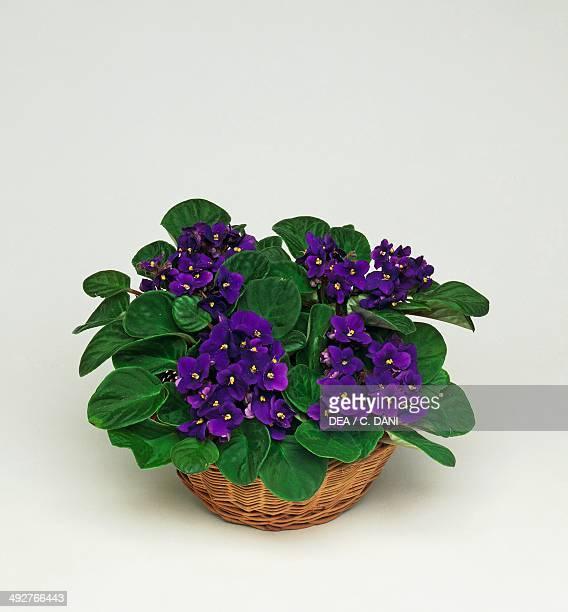 African violet Gesneriacee