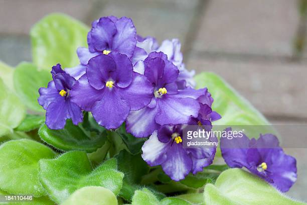 african violet - african violet stock photos and pictures