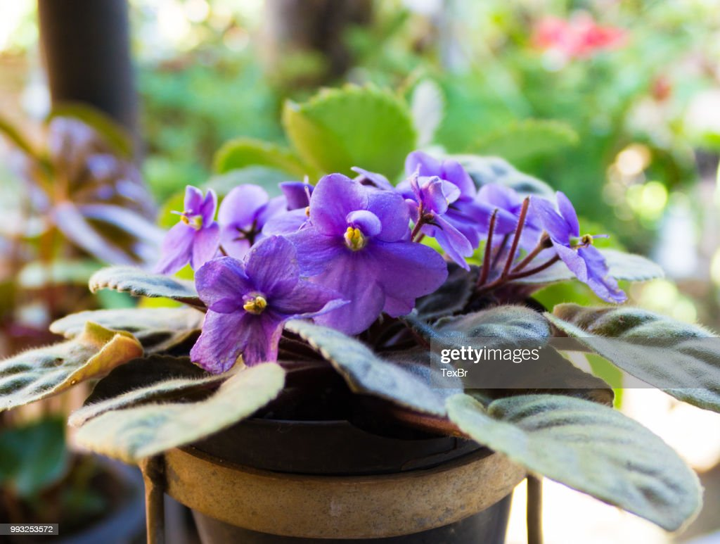 African violets (Saintpaulia), closeup of this beautifully colored purple flower. : Stock Photo