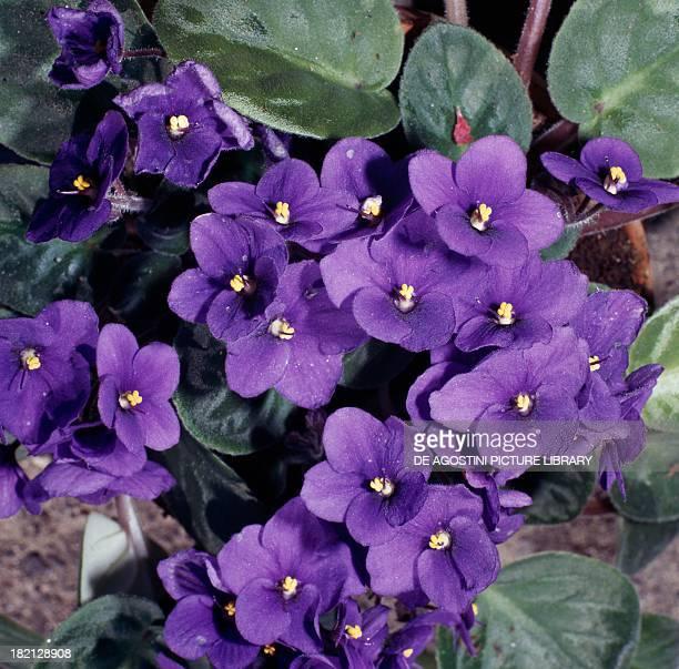 African violets Gesneriaceae