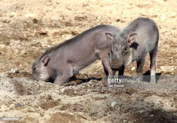 african warthog piglets - facocero foto e immagini stock