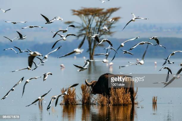 búfalo africano no lago nakuru com flamingo e árvore acácia nua - lake nakuru - fotografias e filmes do acervo