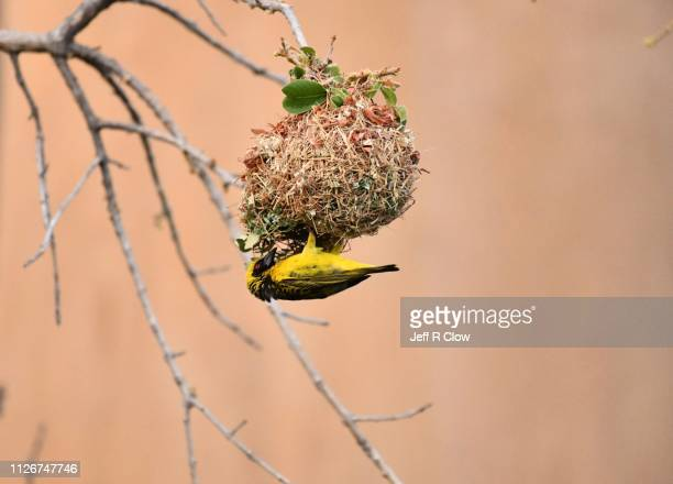 african weaver building a new nest - intricacy stock pictures, royalty-free photos & images