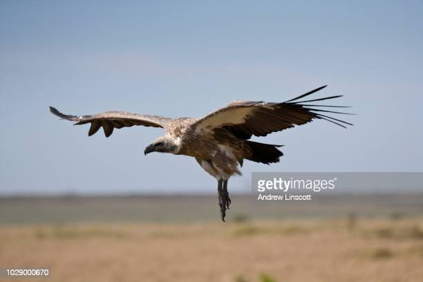 african white backed vulture - big bums stock pictures, royalty-free photos & images