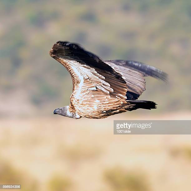 African white-backed Vulture flying