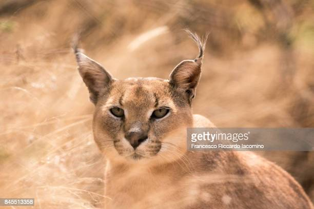 African wild Caracal, Namibia