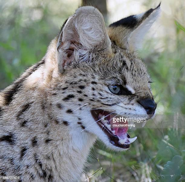 african wild cat growling, limpopo, south africa - asiatische wildkatze stock-fotos und bilder