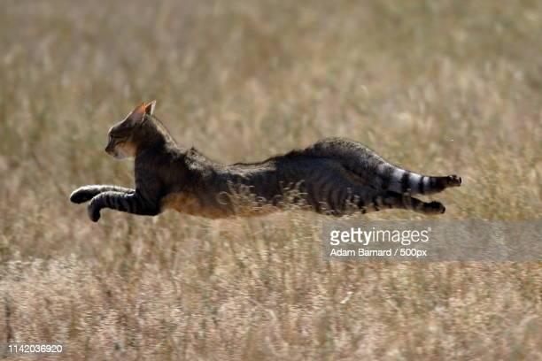 african wild cat- kgalagadi, south africa - asiatische wildkatze stock-fotos und bilder