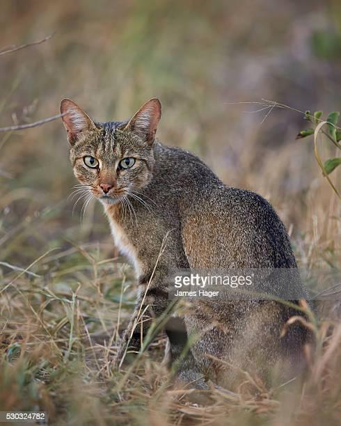 african wild cat (felis silvestris lybica), kruger national park, south africa - asiatische wildkatze stock-fotos und bilder