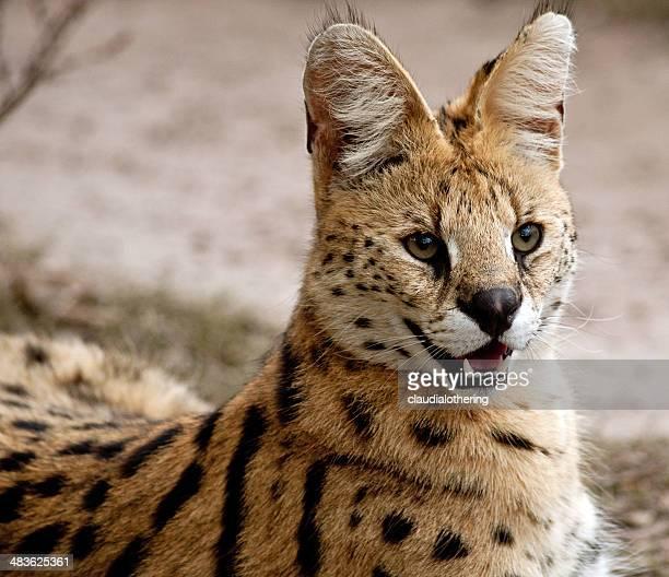 südafrika, mpumalanga, african wild cat - asiatische wildkatze stock-fotos und bilder