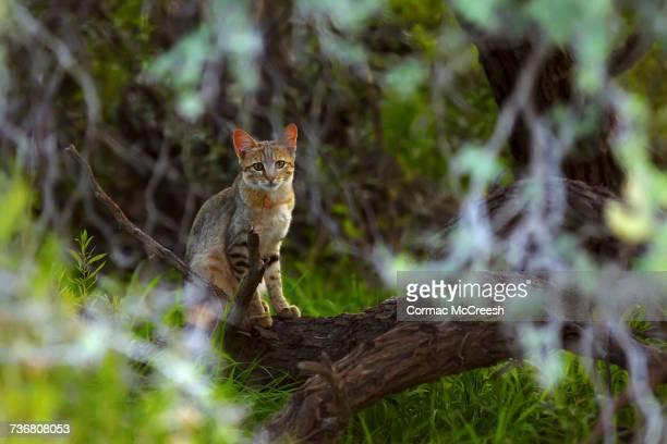 african wild cat - asiatische wildkatze stock-fotos und bilder