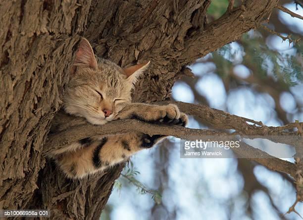 african wild cat (felis syvlestris) sleeping on tree branch - asiatische wildkatze stock-fotos und bilder
