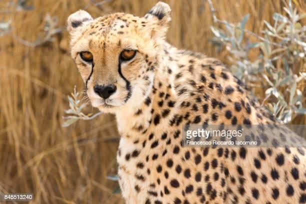 African wild cheetah, Namibia