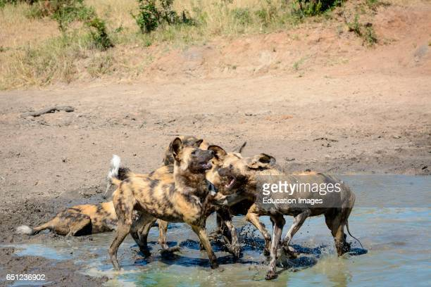 African wild dog African hunting dog African painted dog cape hunting dog wild dog or painted wolf Lycaon pictus playing at a waterhole Limpopo...