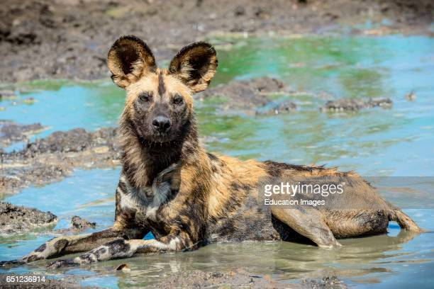 African wild dog African hunting dog African painted dog cape hunting dog wild dog or painted wolf Lycaon pictus Limpopo Province South Africa