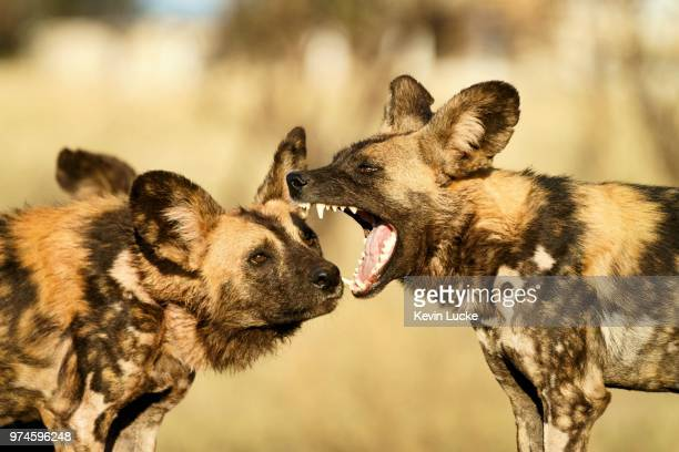 african wild dog (lycaon pictus) baring its teeth, madikwe nature reserve, south africa - wild dog stock pictures, royalty-free photos & images