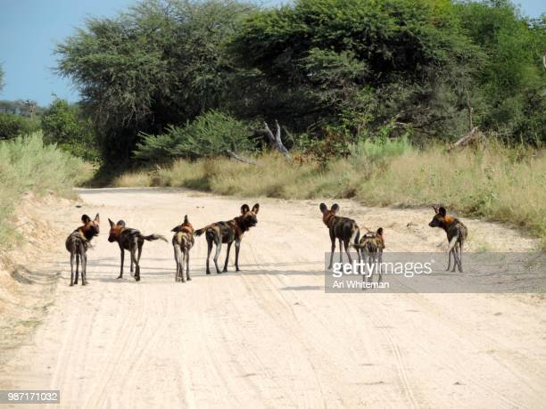 African Wild Dog Hunt