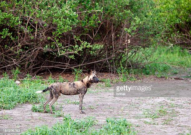 african wild dog in selous game reserve, tanzania. - wildlife reserve stock photos and pictures