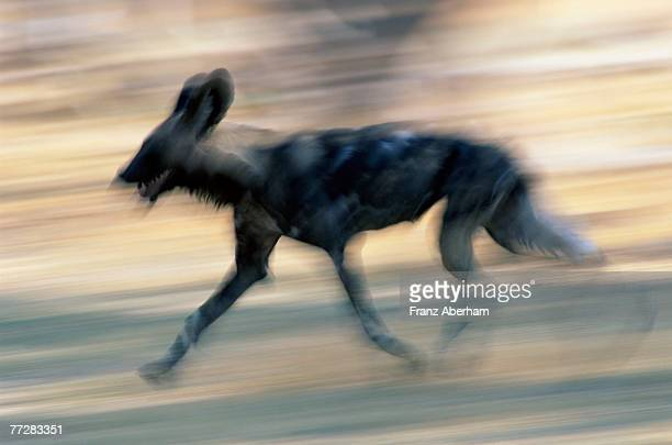 African wild dog loping