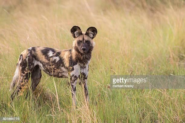 African Wild Dog -Lyacon pictus-, Babwata National Park, Caprivi Strip, Namibia, Africa