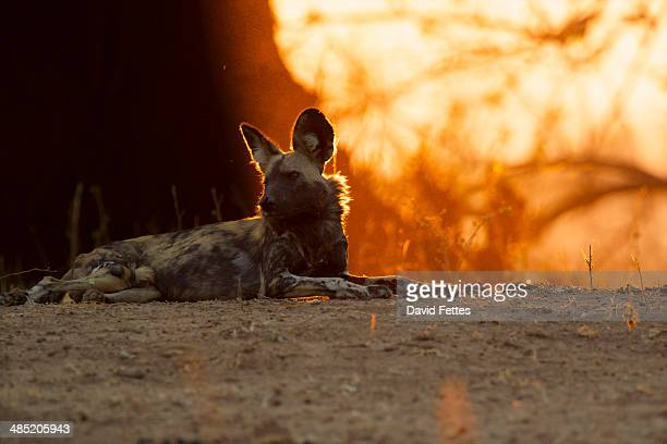 African Wild Dog - Lycaon pictus.  Critically endangered