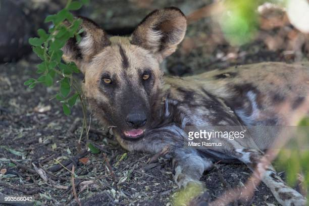 african wild dog (lycaon pictus) lying in the shade after the hunt, savuti area, chobe national park, botswana - carnivora stock photos and pictures