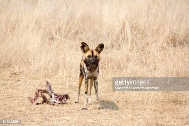 African Wild Dog, Namibia, Africa